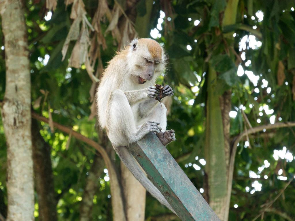 Botanischer-Garten-Penang-Affen