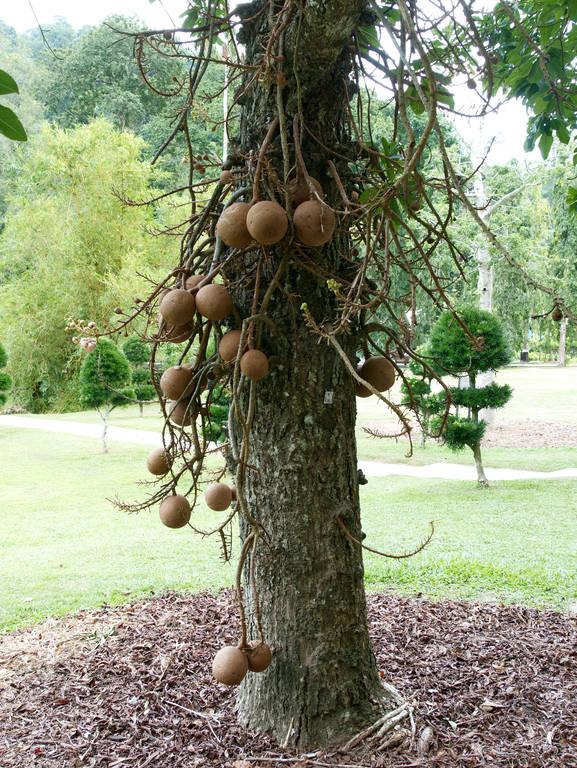 Botanischer-Garten-Penang-Baum