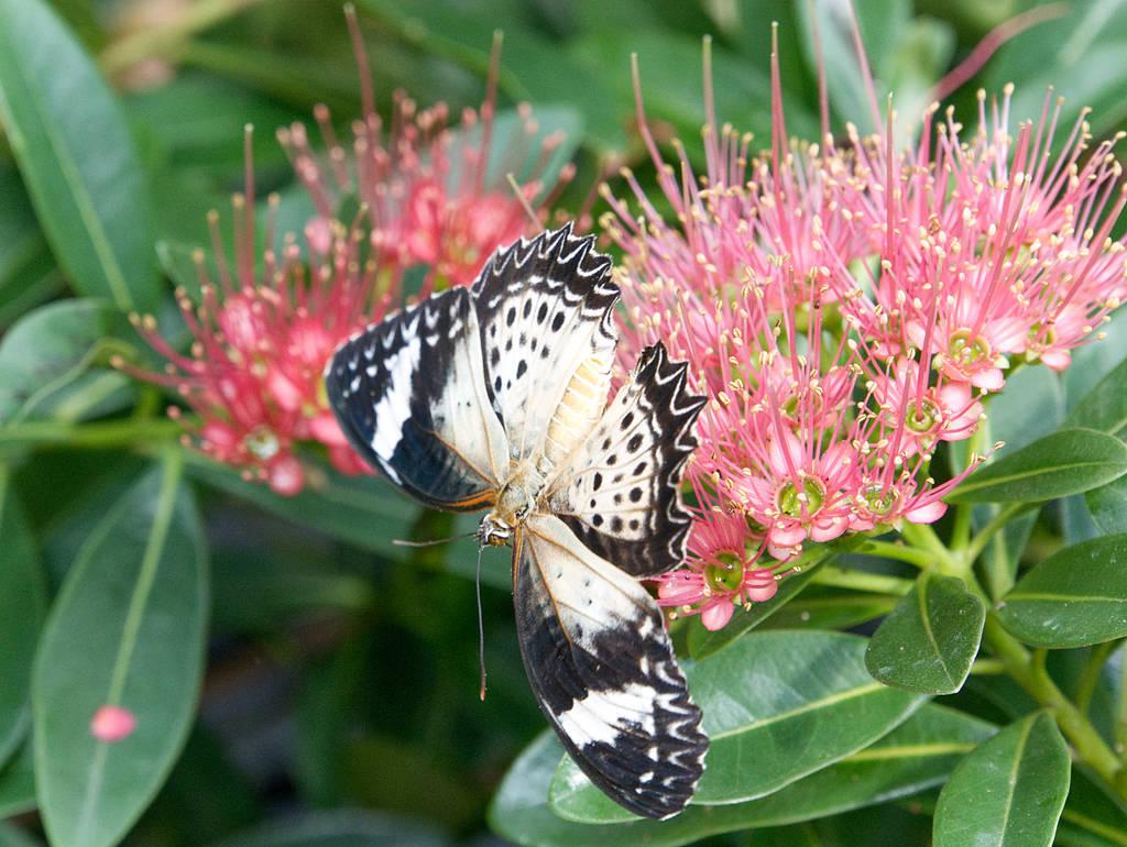 Entopia-Schmetterling