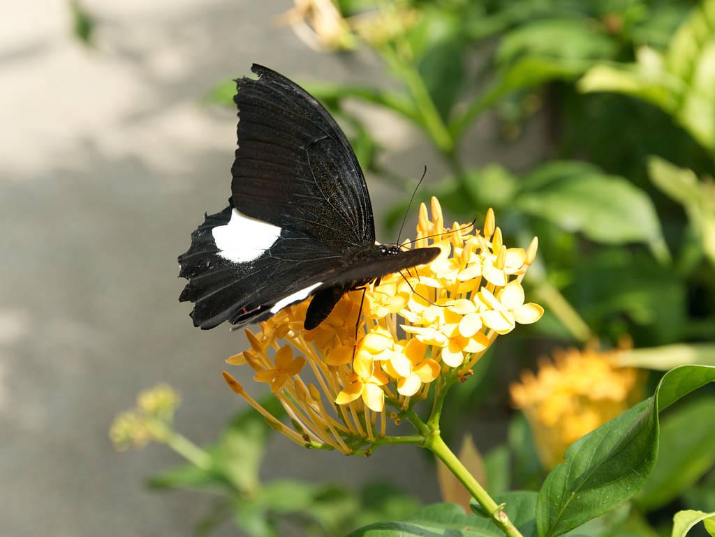 Entopia-Schmetterlinge-Blume