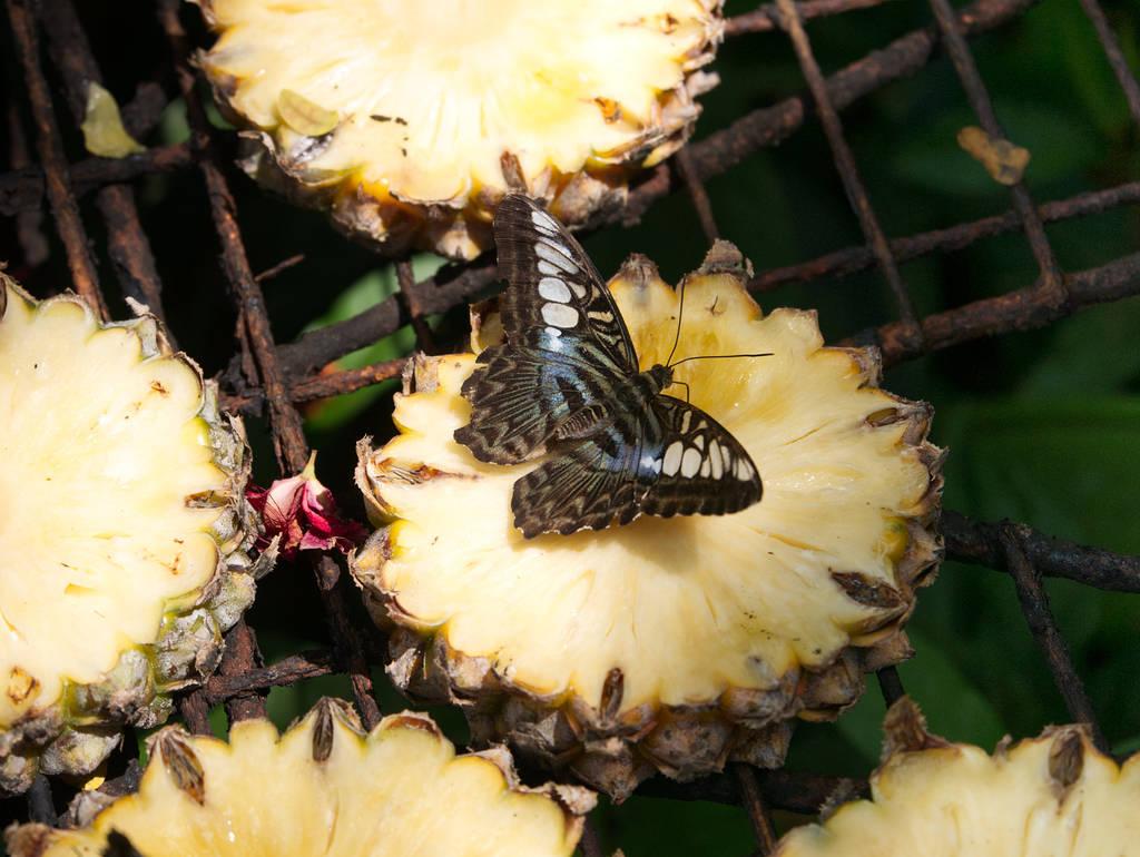 Entopia-Schmetterlinge-auf-Ananas