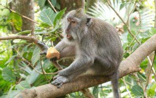 Affenwald-Ubud-Affe-beim-Fressen