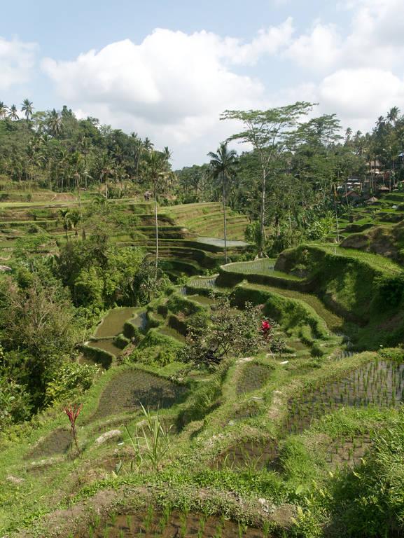 Tegalalang-Reisterrassen-Ubud-Reisfelder