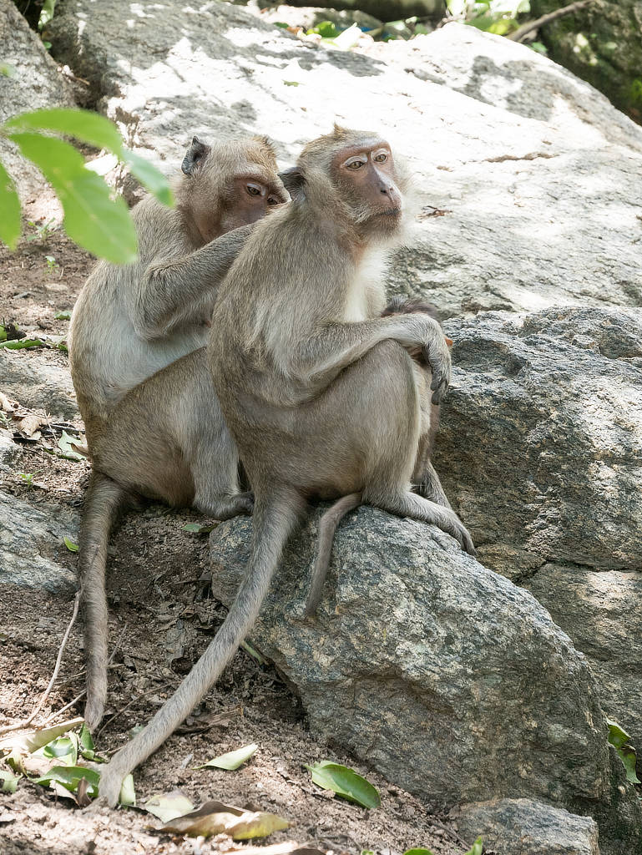 Affenfelsen Hua Hin -Affen