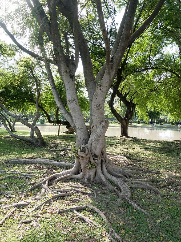 Chatuchak Park Bangkok - Baum