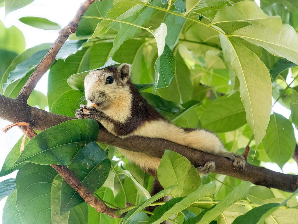 Chatuchak Park Bangkok - Eichhörnchen liegend
