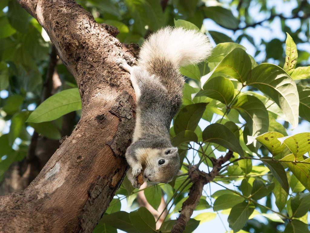 Chatuchak Park Bangkok - Eichhörnchen