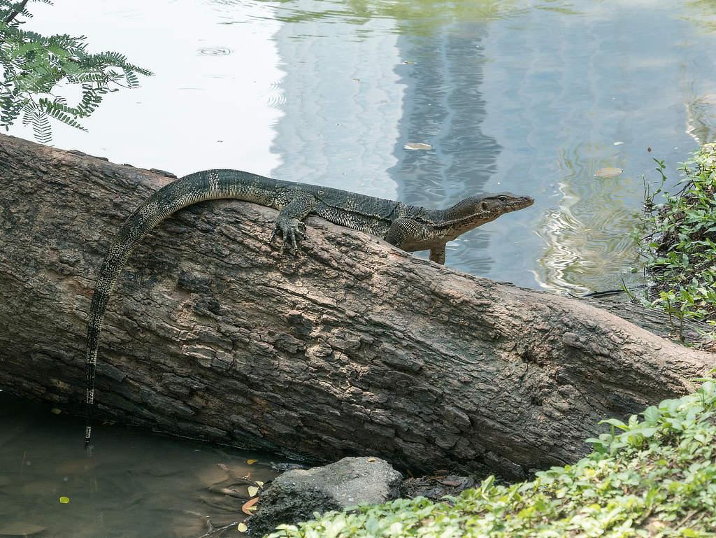 Waran im Lumphini Park