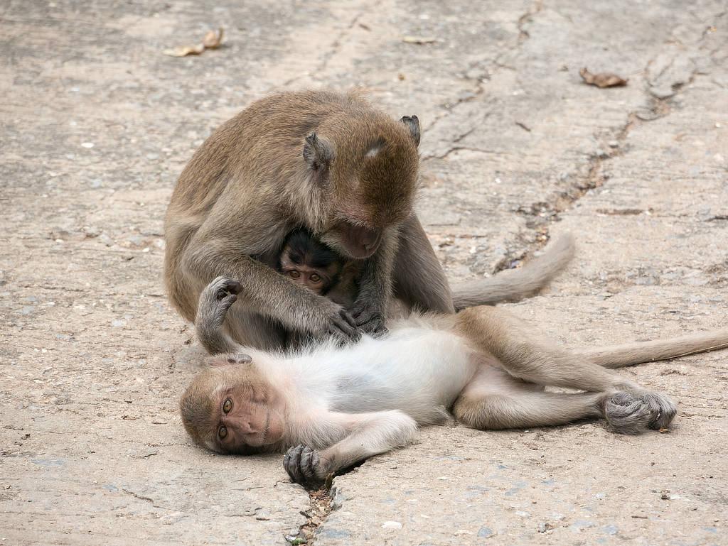 Wat Khao Takiab Affenfelsen - Affenfamilie