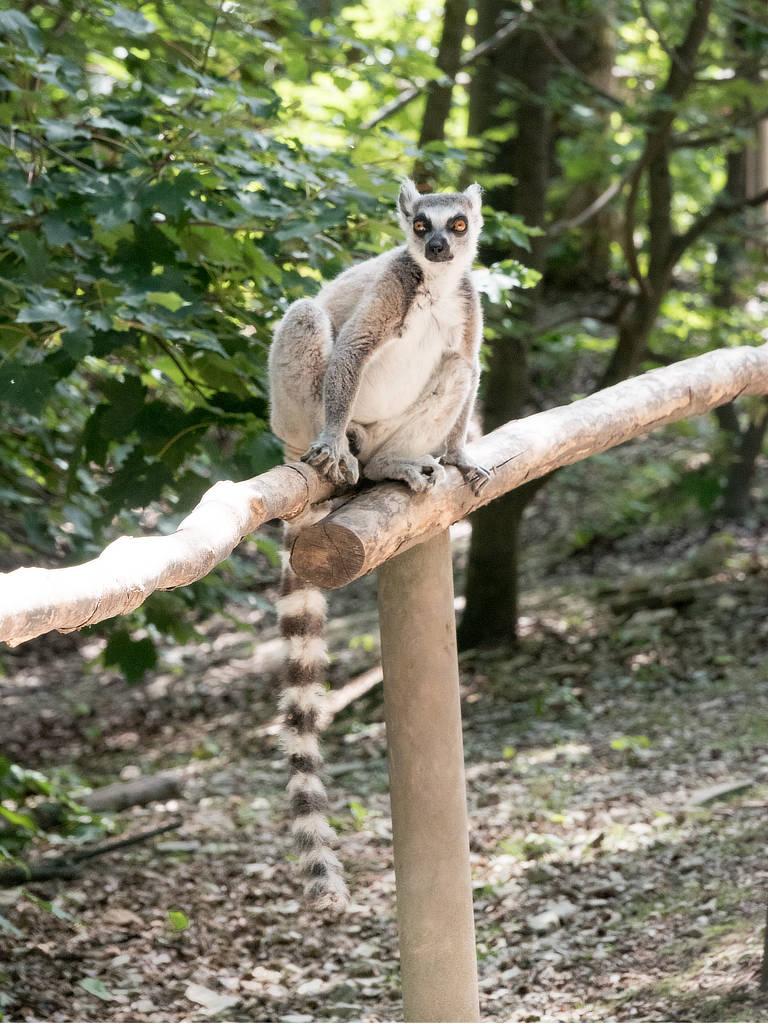 Affenwald Straußberg Katta auf Geländer