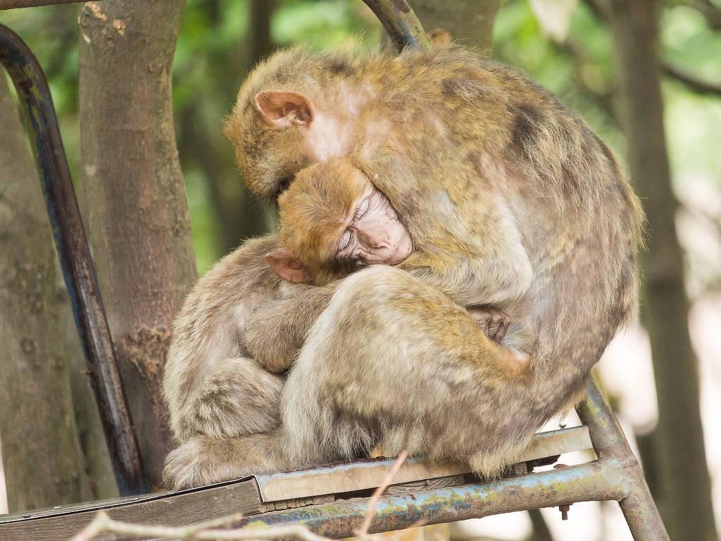 Affenwald Straußberg schlafende Berberaffen