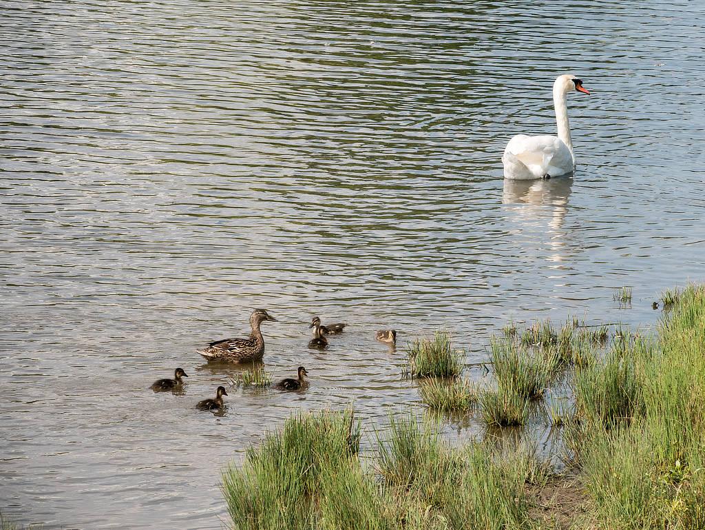 Enten und Schwan im Erholungspark Lößnig Döliz