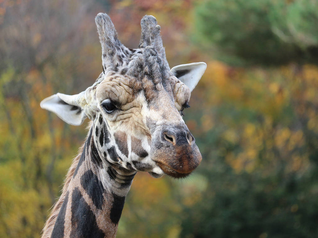 Giraffe - Zoo Leipzig
