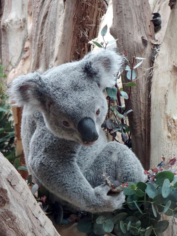 Koala im Zoo Leipzig
